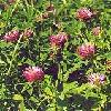 80299 Red Clover 50 gr  buy, review, comments, online