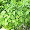 80344  Peppermint Leaves 50gr  buy, review, comments, online