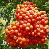 80369 Mountain Ash berry 50gr  buy, review, comments, online